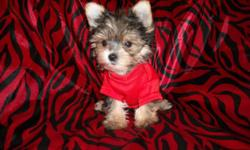 GORGOUS TINY TEACUP SIZES, NONSHED SILKY COATS, HYPO ALLERGENIC, MALES/ FEMALES, SHOTS, WORMED, KENNEL AND PEE PAD TRAINED, SOCIALIZED DAILY WITH FAMILY AND KIDS, RAISED IN A CLEAN ENVIRONMENT, WONDERFULL LAP BABIES, EXCELLENT TEMPERMENT, READY TO GO TO