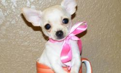 I have 2 female teacup chihuahua puppies! They are 8wks old. Have had their first set of shots, seen the vet for a puppy check up twice and have been dewormings (all documented on their shot records!). Both are ACA registered. Will be about 3 pounds fully