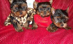 GORGOUS TINY YORKIES, PUREBRED, NONSHED SILKY COAT, SHOTS, WORMED, HYPO ALLERGENIC, SOCIALIZED DAILY WITH FAMILY AND KIDS. READY FOR NEW HOMES NOW AT 8 WKS OLD, PUPPY COMES WITH A BED, SHIRT, TOYS, PADS, FOOD, HEALTH RECORDS, AND HEALTH GARUNTEE,