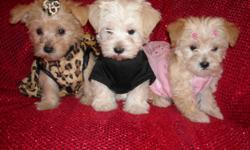 GORGOUS YORKIE/POODLE PUPS, SHOTS, WORMINGS. SILKY COATS, POTTY TRAINED ON PADS AND CRATE TRAINED, GREAT LAP BABIES, GREAT TEMPERMENT, SOCIALIZED DAILY WITH FAMILY AND KIDS, READY FOR NEW HOMES NOW, PUPPY COMES GROOMED, WITH OWN HANDBAG, TOY, T SHIRT,