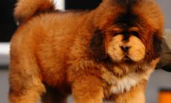 Top quality Tibetan Mastiff puppies, healthy and playful.Beautiful, great coat. Brought into our home; loved and socialized with people and other pets. The best possible care in raising; Vet supervision, quality food, all vaccination, current shots and