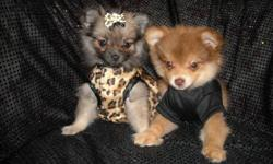 WE HAVE 2 ADORABLE PUREBRED POMERMANIANS, MALE/FEMALE SOFT FLUFFY COAT, SHOTS, WORMINGS, POTTY TRAINING ON PAD, SOCIALIZED DAILY WITH FAMILY, GREAT TEMPERMENT, LUV TO CUDDLE AND PLAY, GREAT LAP BABY, SWEET AND PLAYFULL, READY NOW TO GO TO NEW HOME, 9WKS