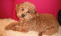 8 Month old toy poodle!! needs a good home, amazing bubbly personality, great with kids and the family! Need to sell because we are moving to china and are unfortunately unable to bring her with us.. Come see her! you'll fall in love just as we did when