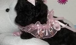 If you love Very smart , friendly, loving loyal companions then this little dog is for you. Up to date on shots and worming. Tail docked and dew claws removed. She is black and was born May 5 2011 she will be ready to go on June 30 th. Now being started