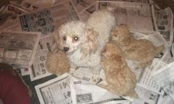 I have 1 male TOY POODLE CKC Registered puppie to sell. He has had his first set of shots and regular worming. He is an Apricot/tan color, NON=SHEDDING, great for people with allergies. We call him BRANDO he is happy and healthy, and loves everyone.