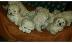 have 3 male toy poodles left has been raised in a loving home looking for there next loving home they are 9 weeks old eating on there owngood personalities they have been vet checked dewormed tails docked very playful