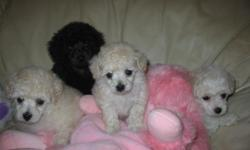 Precious 5 week old registered Toy Poodles-born 10/28; will be ready to go in one week. Mom and Dad on the premises. 2 black (M &F) and 1 one (F) Get one now just in time for Christmas. Call for pictures.