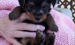 2 Male Toy Yorkies - Litter of 5 only 2 left....2 found homes last night. Please respond quickly....Place in Baxter paper Wed. Mountain Home, AR (72653) Will come with papers, De-wormed week 2-4-6 have de-worm med for you for 8 week, Month