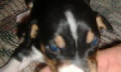 Tuxie is a female rat terrier just 2 weeks old. She was born on 1/17/11 and has just opened her eyes and had her first worming. She is a tri color tuxedo type A. Her dam is a tri color natural bob tail tuxedo type B. Her sire is a type A mini tri color