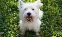 I have 2 precious purebred west highland white terriers that I am needing to rehome.  They are both fixed.  I got both as puppies.  Odin, the male is 7 years old and I paid 700 for him.  Fiona, the famale is 5 and I paid 500 for her.
