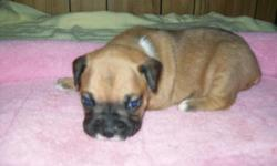 She is the runt of the littler, she will be up to date on her shots and wormings. I do not ship. she is raised in my home and played with every day. She will be 9 weeks old the Monday before Christmas. she was born 10-20-14
