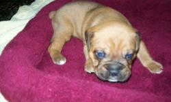 He will be up to date on hisshots and wornings, raised in my home with lots of love and play. he was born 10-20-14 He will be 9 weeks old the monday before CHRISTMAS. He willmake a great Christmas gift. I do not ship. She was born 10-20-14