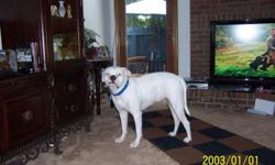 Wanted - Mature male American Bulldog to mate with Beautiful Bella. Call ASAP 910-487-5150.