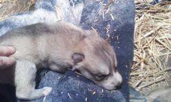 I have 2 litters of wolf hybrid puppies. The father is 96% Timberwolf and the mom is 98% Arctic Wolf. I have many males and females. These puppies will be ready to go to their new homes and the end of the first week of Febuary. Approx. on 5-6 Feb. 2011.