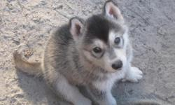 Malamute/Timber/Red Wolf puppies. These dogs make excellent family pets, both in and outside. No apartments please. Highly intelligent, easy to train. Two sets of puppy shots, Florida Health Certificate. Looking for loving, forever homes for these