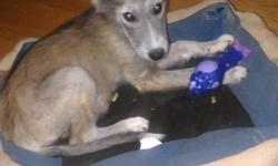 We have a 16 week old wolf hybrid puppy. She has been fully vetted and will come with all of her vet paper work as well as her health certificate. She also has her paperwork stating how much wolf content she is.. 73% She does great with other dogs, as