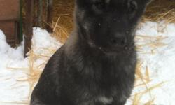 2 dark colored Males Malamute Timber Wolf (high content) Born September 15th Great temperaments, playful, outgoing Fenced yard or acherage away from roads is preferred Call or text for further details! Thank you ()--