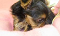 www.angiespickapet.com Pet locating and delivery service. Teacup Yorkies, Chiuhuahs , Maltese, Morkies and many more designer breeds. Also Large breeds, English Bulldogs, Mastiffs , Great Danes, and many more. You name it I will find it. Teacup Yorkies