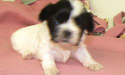 www.angiespickapet.com Pet locating and delivery service. Many tcup and toy breeds, designer breeds, hybrids, Access to high demand pets. Tea Cup Yorkies , Maltese, Morkies, Snauzers, Shihzus, Min Pins ,and many , more. Vet checked , health guaranteed ,