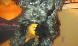 We currently have 2 all black yorkiepoo puppies for sale. Both puppies are abour 11 weeks old, potty trained, and ready for a new home. The puppies also have all there current shots.