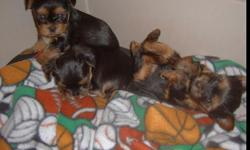 3 beautiful and healthy AKC register yorkie puppies up for adoption, 2 females and on male. They were born on sept. 26 so they will be ready to go on nov 21 at 8 weeks. Birth weight was 4 oz for the male, 4 oz for one female and 5 oz for the other female.