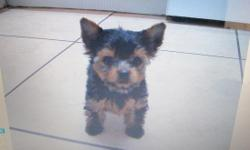 Yorkies 8 weeks old, , 3 males available, 2 in $550.00 each and 1 teacup male $850 really small, (Registry: AKC (Limited Registration)