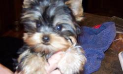akc yorkshire terrier male puppy, should mature around 5 lbs. exceptional personality