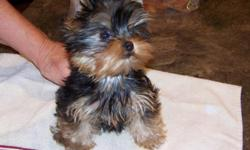 akc yorkshire terrier male pup, champiion sired, should mature around 5 lbs, exceptional personality, baby doll face
