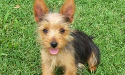 I have a female yorkie puppy that is 19 wks old and ready to go. Very friendly and playful and will be around 5 lbs grown. She's UKC registered and UTD on shots and wormings. She will only need 1 more puppy shot and a rabies. Comes with a toy, food,