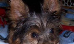 Yorkshire Terrier Puppies - 15 wks old. UKC registered and each puppy comes with a toy, food, health records, and a health guarantee. 3 males and 1 female starting at $500. Very playful and cute!