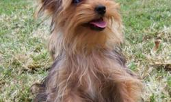I have one male yorkie puppy that is 22 wks old and only 2 1/2 lbs. He will be around 4 lbs grown. He's UKC registered and comes with a toy, food, health records and a health guarantee. He's had all shots, except for his rabies. Very cute and playful and