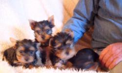 """Adorable AKC Yorkshire Terriers. All should mature at 3-5poinds. Health Guarantee. Socialized with humans, cats and other dogs. Shots wormed. Been raising them since 1967. These are home grown in my own home, not """"puppy mill"""" situation. 561-688-4800"""